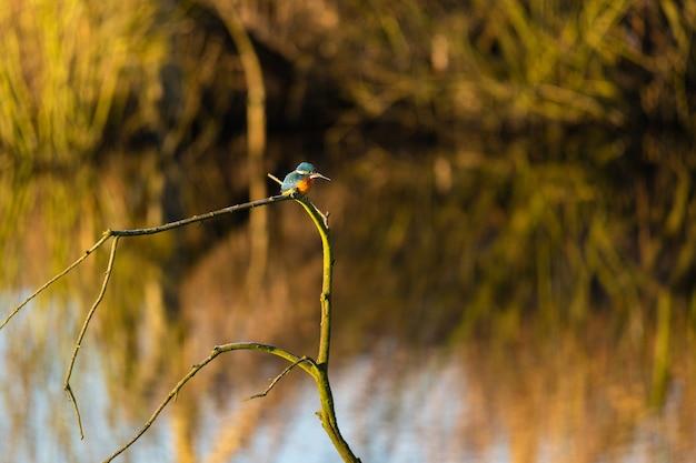 Hipnotyzujący kolorowy ptak zimorodka zwyczajnego na gałęzi drzewa