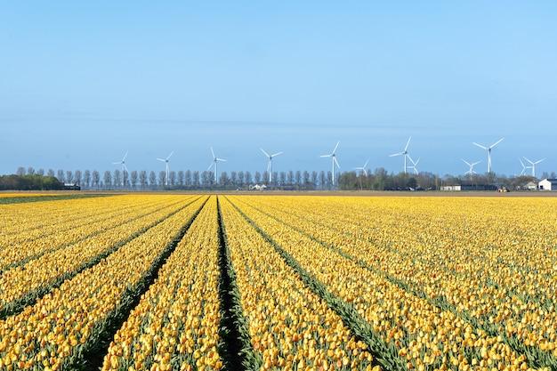 Hipnotyzujący obraz żółtego pola tulipanów w słońcu