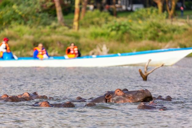 Hipopotam w jeziorze naivasha przeciwko łodzi z turystami. turystyka w kenii.