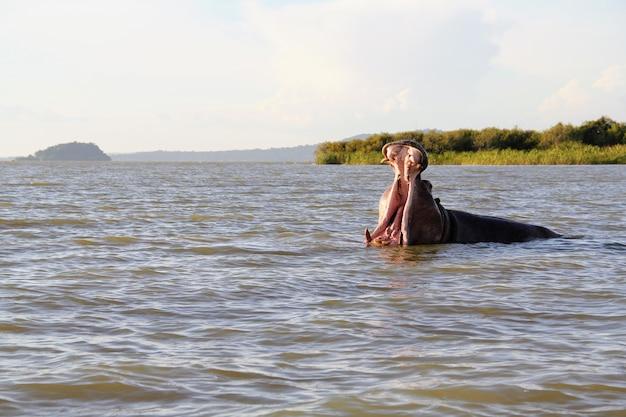 Hipopotam z otwartą paszczą w jeziorze tana otoczony zielenią w etiopii