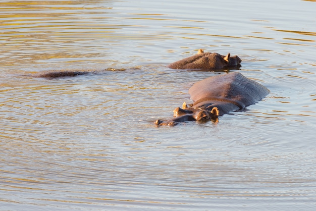 Hipopotamy w wodzie, park narodowy krugera
