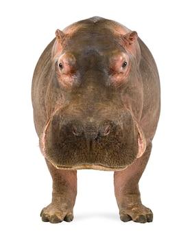 Hippopotamus, hippopotamus amphibius na bielu odizolowywającym