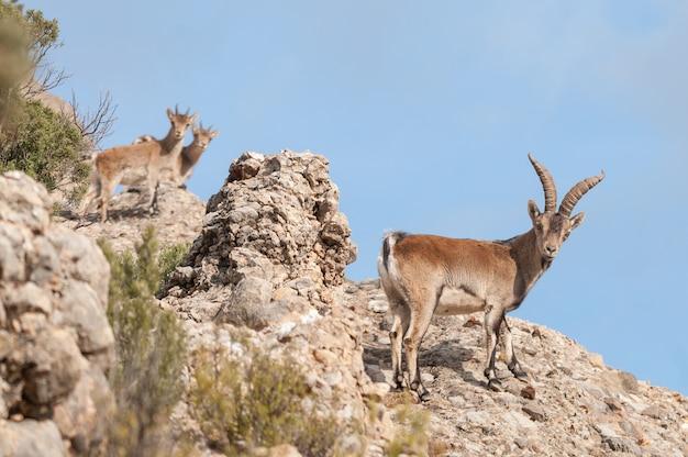 Hiszpańska koziorożec capra pyrenaica w naturze, porty parku przyrody