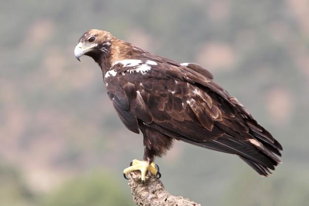 Hiszpański imperial eagle dorosła kobieta w śródziemnomorskim lesie w wietrzny dzień