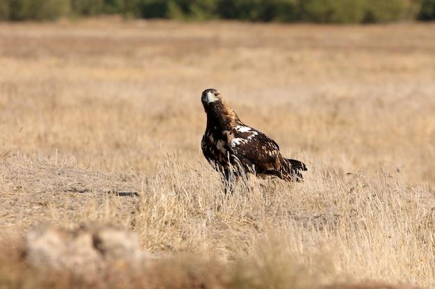 Hiszpański imperial eagle dorosła kobieta w wietrzny dzień wczesnym rankiem