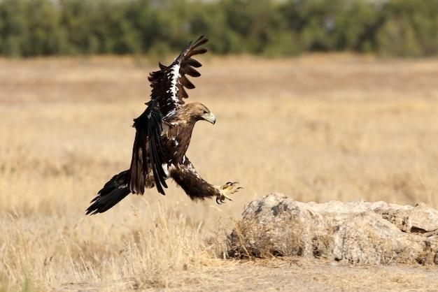 Hiszpański imperial eagle dorosły mężczyzna latający