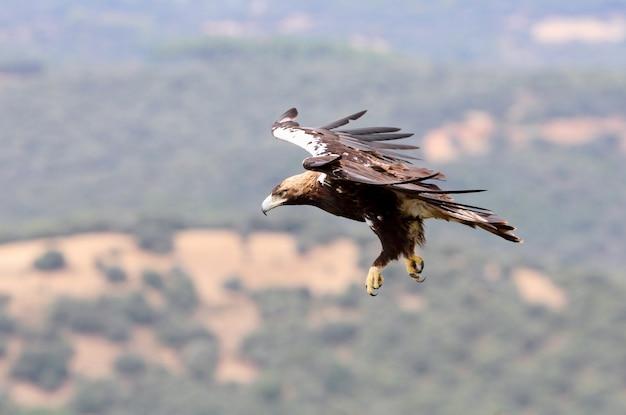 Hiszpański imperial eagle dorosły mężczyzna lecący w lesie śródziemnomorskim w wietrzny dzień