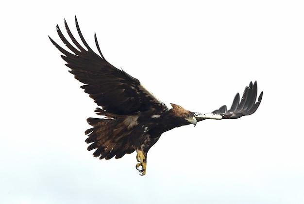 Hiszpański imperial eagle dorosły mężczyzna lecący w śródziemnomorskim lesie w pochmurny dzień