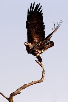 Hiszpański imperial eagle dorosły mężczyzna lecący w wietrzny dzień wczesnym rankiem