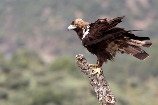 Hiszpański imperial eagle dorosły samiec w śródziemnomorskim lesie