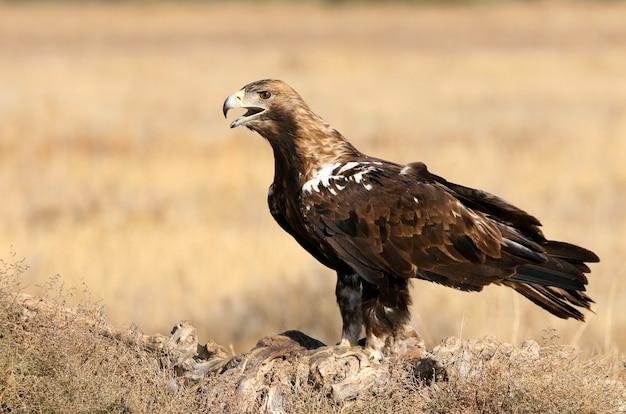 Hiszpański imperial eagle dorosły samiec w wietrzny dzień wczesnym rankiem