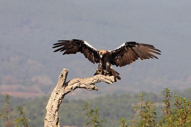 Hiszpański imperial eagle latające w lesie śródziemnomorskim w wietrzny dzień wczesnym rankiem