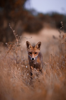 Hiszpański lis (vulpes vulpes)