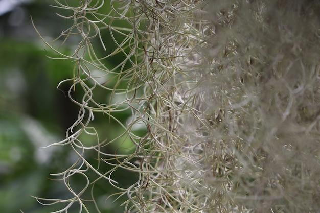 Hiszpański mech białego koloru obwieszenie na drzewie w natury tle