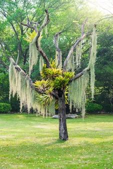 Hiszpański mech wiszą na suchym drzewie