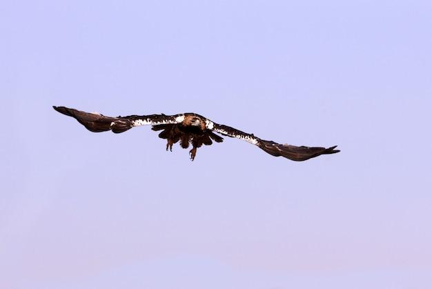 Hiszpański orzeł cesarski pięcioletnia kobieta latająca