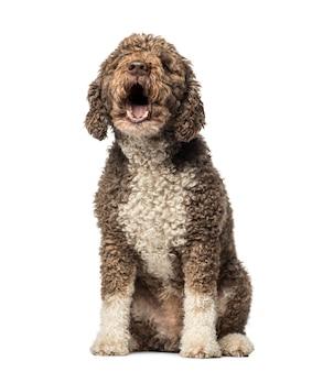 Hiszpański pies wodny szczeka przed białą ścianą