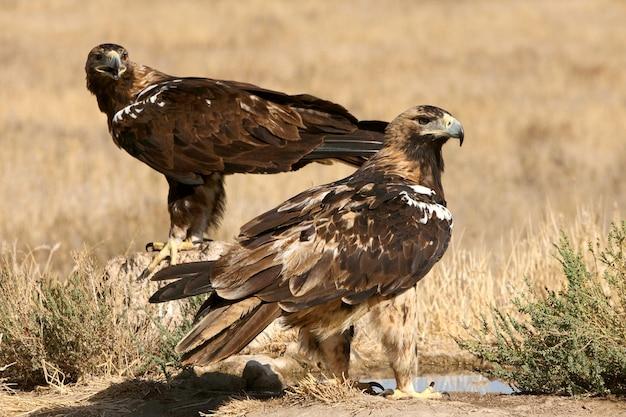 Hiszpańskie orły cesarskie