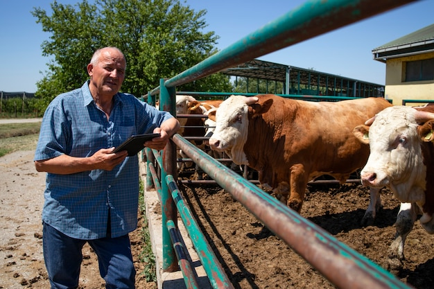 Hodowca z grupą silnych, umięśnionych byków hodowlanych zwierząt do produkcji mięsa w gospodarstwie ekologicznym.
