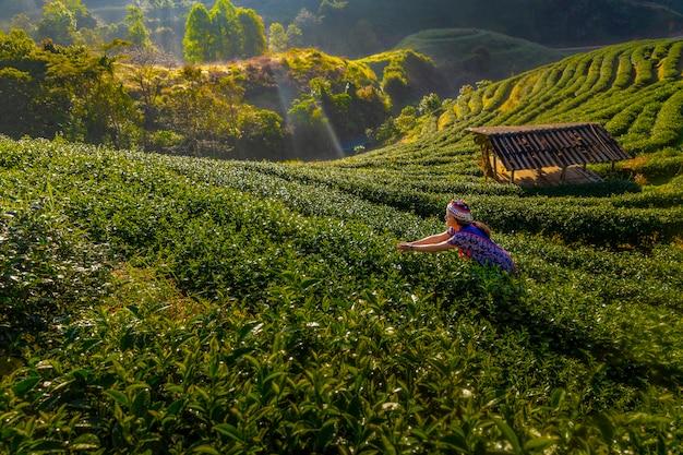 Hodowcy herbaty zbierają herbatę rano pośród gór i mgły.