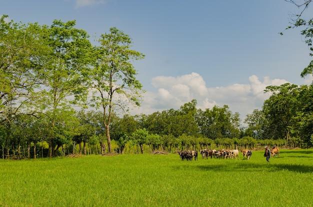 Hodowla bydła w gwatemali