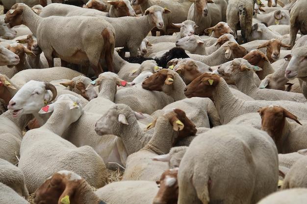 Hodowla przyciętych białych i brązowych owiec i baranów