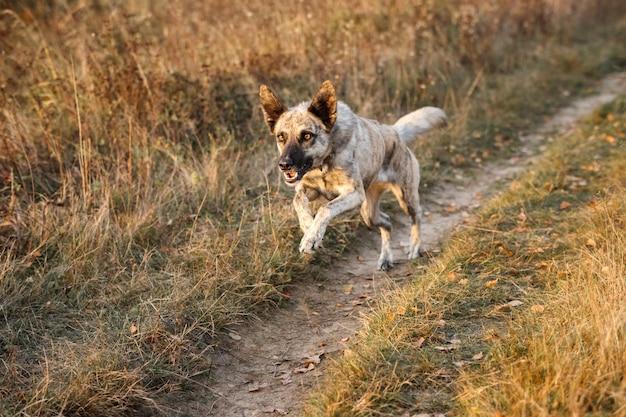 Hollandse herder biegnie galopem przez jesienne pole.