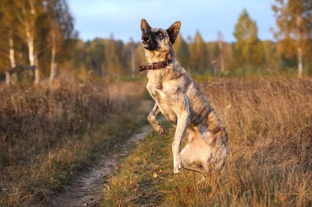 Hollandse herder stoi na tylnych łapach na jesiennym polu