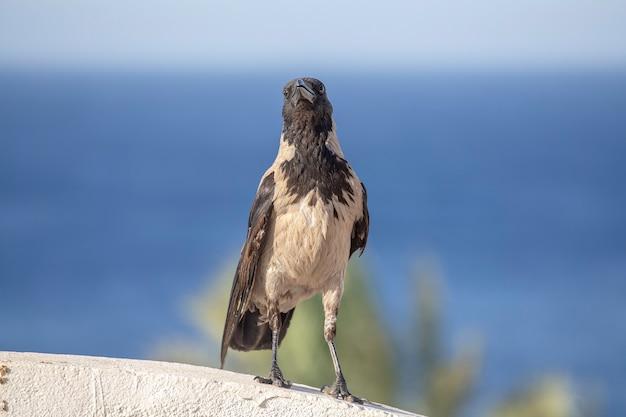 Hooded crow piękny szaro-czarny kruk stojący na kamiennym płocie