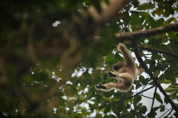 Hoolock gibon wysoko na drzewie dzika indyjska małpa w indyjskim lesie