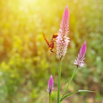 Hornet (hymenoptera) wysysa na pastwisku nektar z różowych kwiatów.