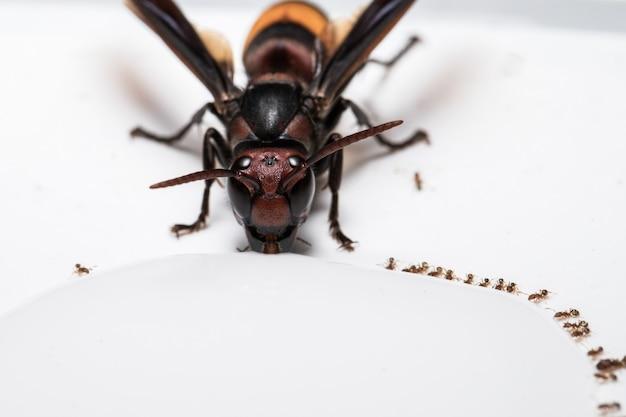 Hornet pije z mrówką