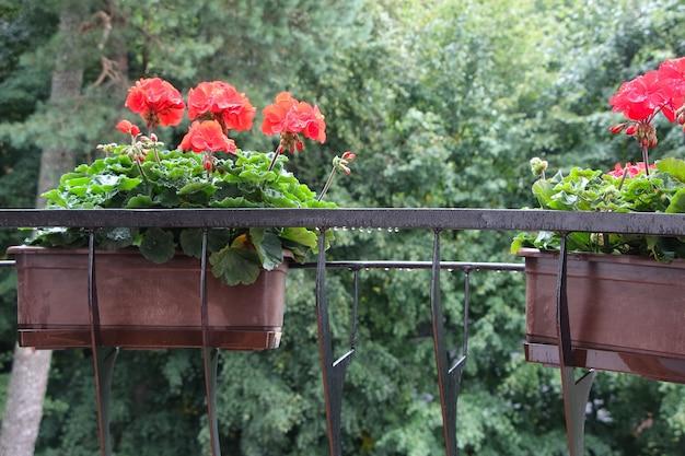 Hortensja w doniczce na balkonie w deszczu
