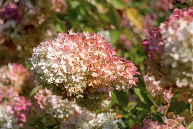 Hortensja wiechowata 'grandiflora' (hydrangea paniculata)