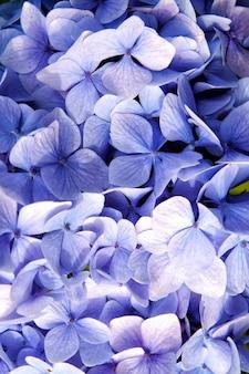Hortensja z niebieskimi płatkami w oban, wielka brytania. kwiat hortensji. flora i przyroda. naturalne piękno. tle kwiatów. ogrodnictwo i terapia uzdrowiskowa. naturalne piękno. sezon wiosenny lub letni.
