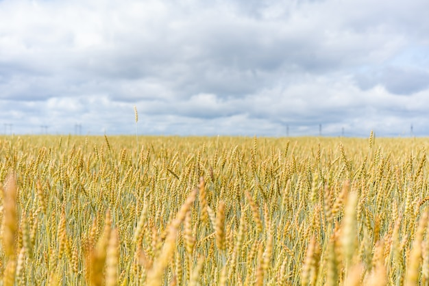 Horyzont pola pszenicy i niebo z chmurami