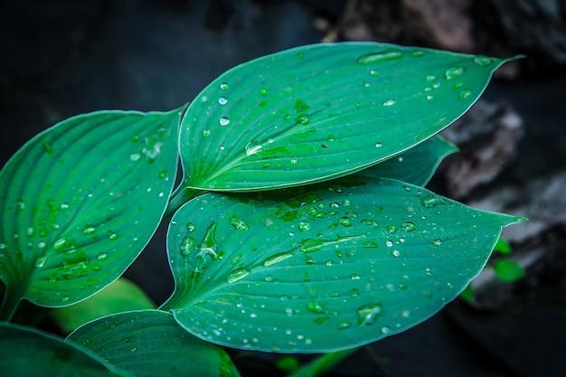 Hosta kwitnie po deszczu latem w ogrodzie