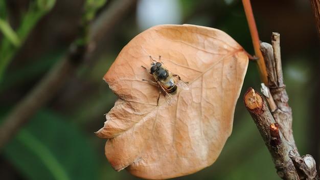Hoverfly na brązowym liściu