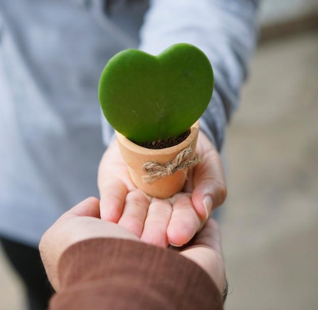 Hoya kerrii, sweetheart hoya care, symbol miłości