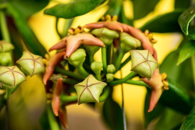 Hoya kwiaty na tle przyrody.