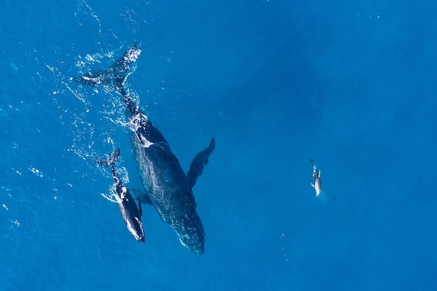 Humbaki sfotografowane z góry dronem powietrznym u wybrzeży kapalua na hawajach