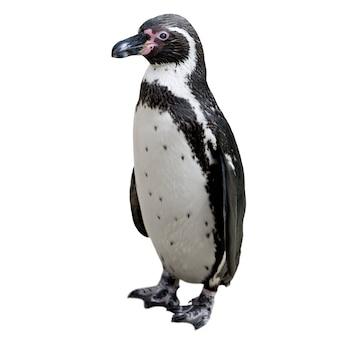 Humboldt penguin izolować na białym tle