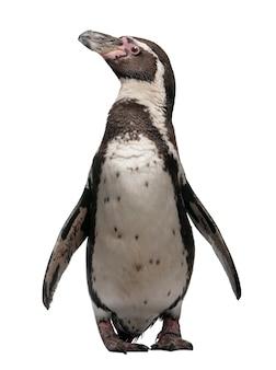 Humboldt penguin, spheniscus humboldti, stojący
