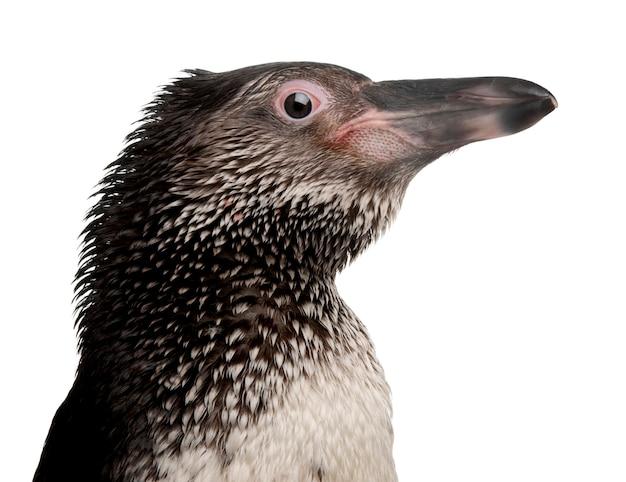 Humboldt penguin, spheniscus humboldti,
