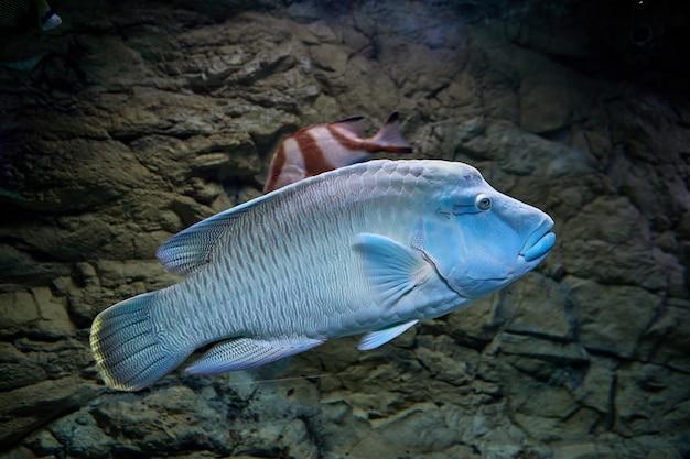 Humphead maori wrasse lub cheilinus undulatus za szkłem morskiego akwarium w rosyjskim mieście st.petersburg.