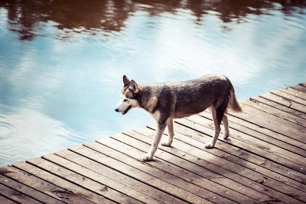 Husky jest na molo w pobliżu wody