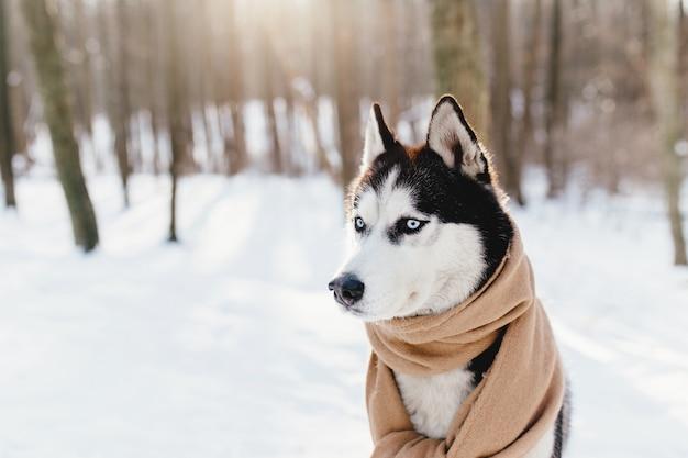 Husky owinięty szalikiem w zaśnieżonym lesie.