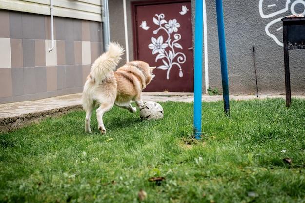 Husky pies gra na zielonej trawie z piłki nożnej.