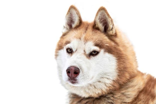 Husky pies zaprzęgowy twarz, na białym tle