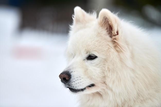 Husky psich zaprzęgów twarz, tło zima. siberian husky pies rasy odkryty portret kaganiec. piękny zabawny zwierzak na spacer przed zawodami wyścigowymi.
